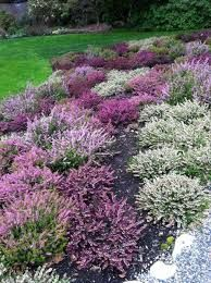 Heather Bed. Love the colours. Image result for heather plant meaning