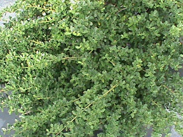 Helleri holly and other low growing southern shrubs for Low growing landscape plants