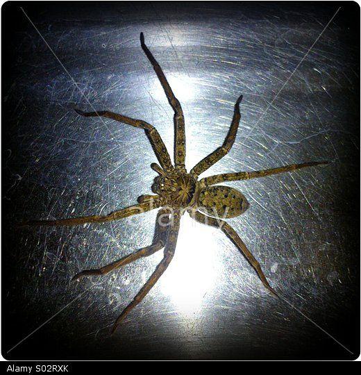 Hunts Man spider in the sink.