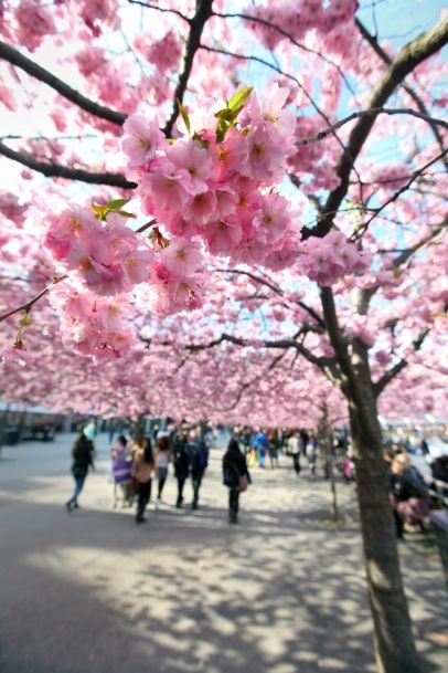 Beautiful cherry trees in Stockholm, Sweden