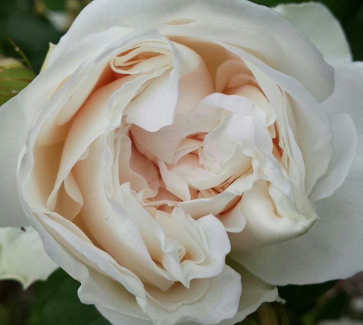 Rose blanc crème