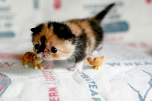 Meet the Worlds Cutest Kitten. We Dare You NOT to Fall in Love With Her. Its Impossible.