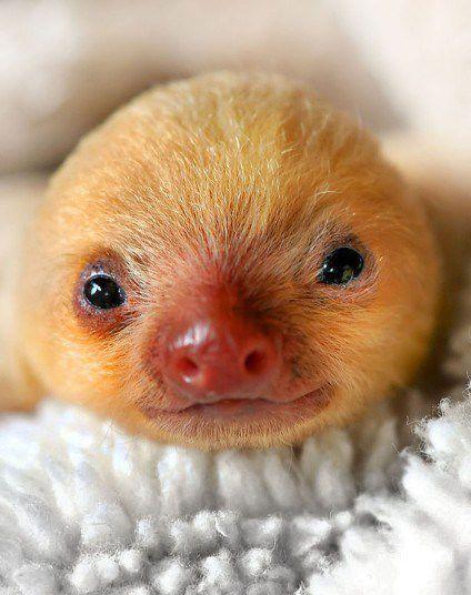 Sleepy sloth. awww!