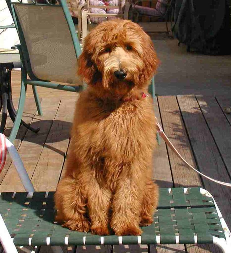 another F1 Goldendoodle puppy Stelladoodle Pinterest