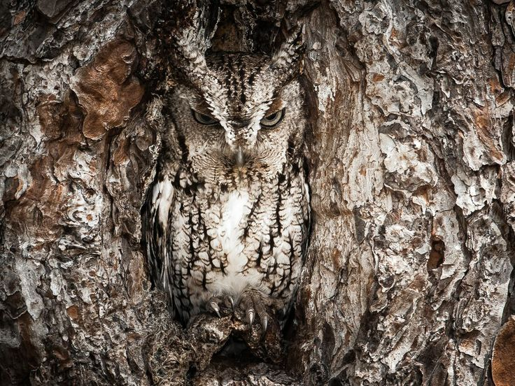 """Photograph by Graham McGeorge. Master of Disguise   """"Eastern Screech Owls like to take over woodpecker nests that have been dug out over the years in pine trees, which are the main species of tree at this swamp. Fish and Wildlife also paint a white ring around the base of a tree that has active nests in order to avoid when conducting controlled burns. Screech owls can range in height anywhere from 8-10 inches, so you have to have a sharp eye to find these little birds of prey."""""""