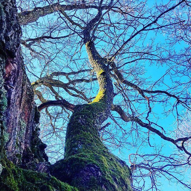 Valoa kohti #kohtikevättä #branches #oksa #sammal #moss #oldtree #naturelove #naturelovers #naturephotography #luontokuvaus #finnishmoments #finland_photolovers