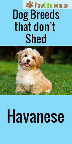 Dog Breeds That Don T Shed Pooches Amp Pups Dog Breeds