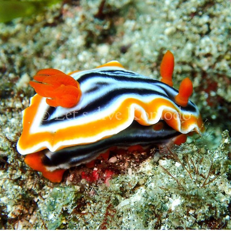 Out of the nudibranch collection, another beauty #komodo #labuanbajo #nudibranch #colors #beauty #macro #scuba #livetoscuba #divecenter #scubadiving #divecenter #lovemyjob #uwphotography #olympus #macro_captures #travel #holiday #wanderlust #explore #ocean #reef #coral #marinelife #oceanlove #instapic #instadaily #exploremore #nofilter