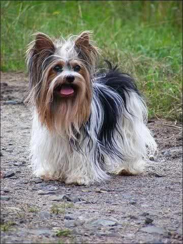 Yorkshire Terrier Energetic And Affectionate Yorkie Cuts