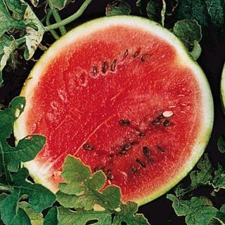 Sugar Baby Watermelon. Good for square foot garden and trellis. 6-10 lb fruit. Use a sling or stocking to support trellised fruit. An idea for next year.