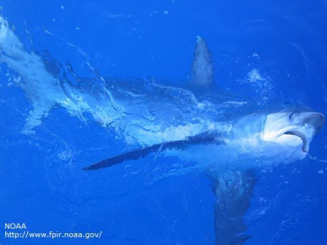 Types of Sharks: Thresher Sharks (Alopias sp.)