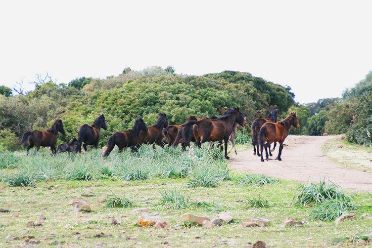 Cavallini sulla Giara