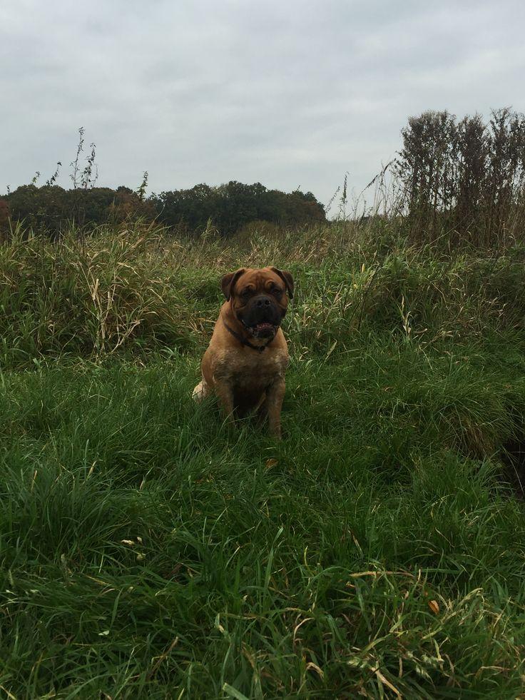 Anton Mischling - Englische Bulldogge / Bordeaux Dogge   Pawshake