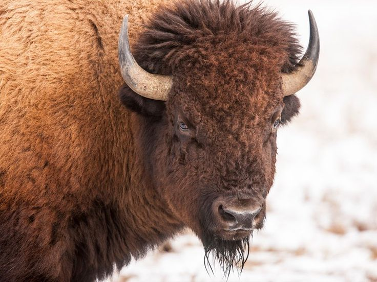 The Bison Is Now the Official Mammal of the United States. The big beasts are the first official mammals recognized by the federal government.