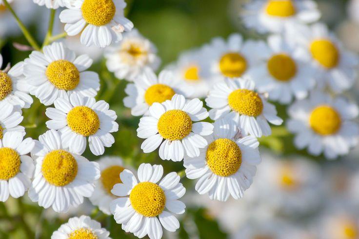 15 best Medicinal Garden images on Pinterest