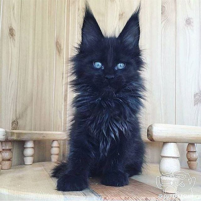 #Repost @attitude_clothing  What a beauty!   CutePetClub #cats #kitty #blackcat #catsofinstagram