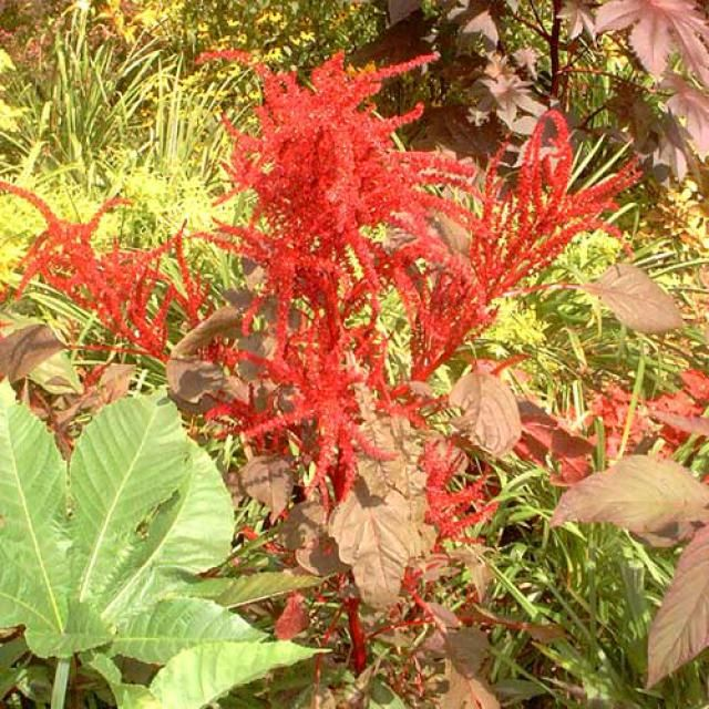 Pictures of Red Flowers: Picture of Red Amaranth
