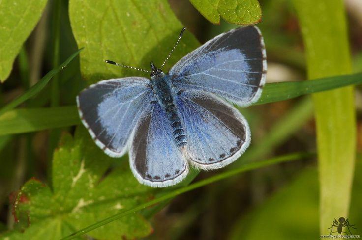 Tosteblåvinge (Celastrina argiolus) – | Krypbloggen – Vad ska man säga om den här då? Den är blå, den har vingar. Jag vet inte om den heter Torsten men det får man väl utgå från. Ska man vara allvarlig så brukar dess larver hamna på en växt som heter Brakved, som även kallas för Toste. Nu fattar ni va? Nu skulle jag kunna dryga mig ytterligare och skriva nåt om Brakved men...