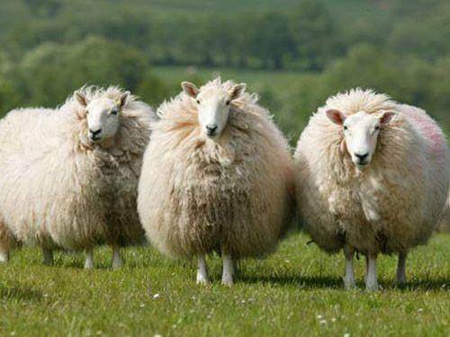 Hardy Sheep Breeds | Cheviot Sheep. A hardy, soft fleeced breed reared on the hill farms of ...