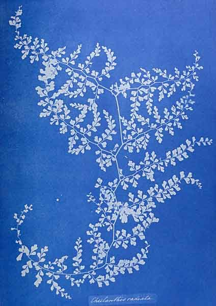 Anna Atkins - 19thc botanist/ photographer working with cyanotype process