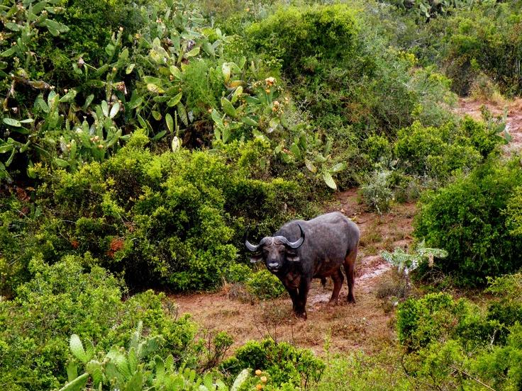 #buffalo #bufalo #wild