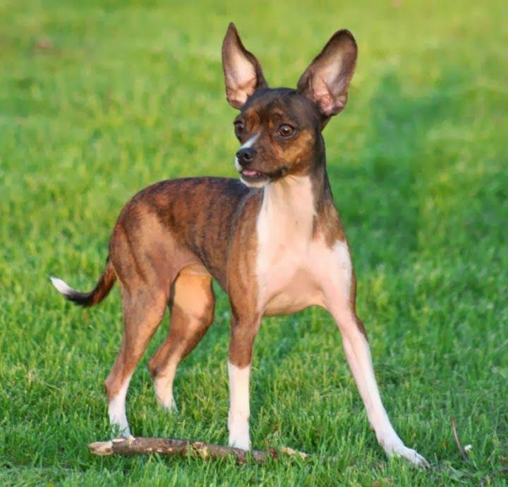 Dog Breed That Looks Like A Deer