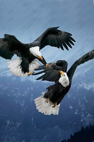 Bald Eagle (Haliaeetus leucocephalus Courting ritual begins in early April and often involves spectacular aerial displays of eagles diving and locking talons.