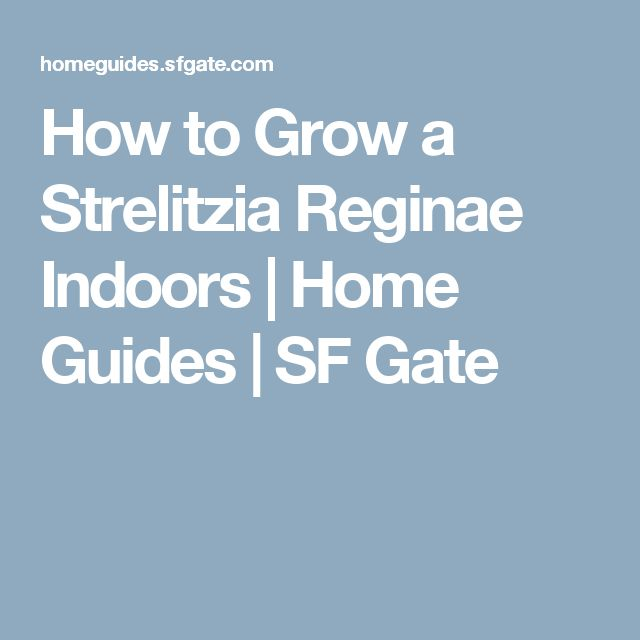 How to Grow a Strelitzia Reginae Indoors | Home Guides | SF Gate