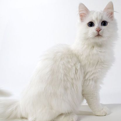 Turkish Angora Cat - http://catbreedsinformation.com/turkish-angora-cat/ The Turkish Angora Cat, originally from Turkey, is a small sized, long coated cat breed that has become quite popular among cat fans around the world.Some cat breeds have additional names that they are known by. This cat is also known as Ankara.The Turkish Angora Cats are said to have quite the personality. Their owners have said that they are often affectionate, inquisitive, and intelligent.Their perso