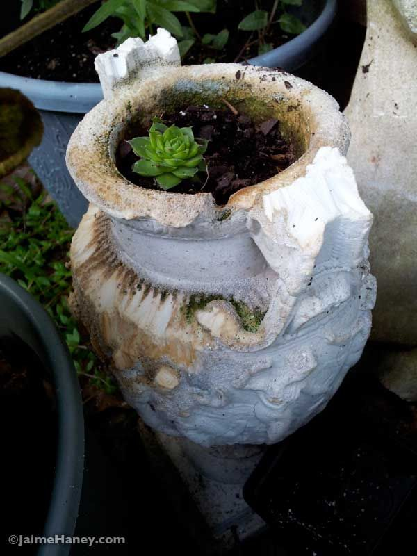 aged urn with hen and chick plant with squirrel teeth marks #succulent