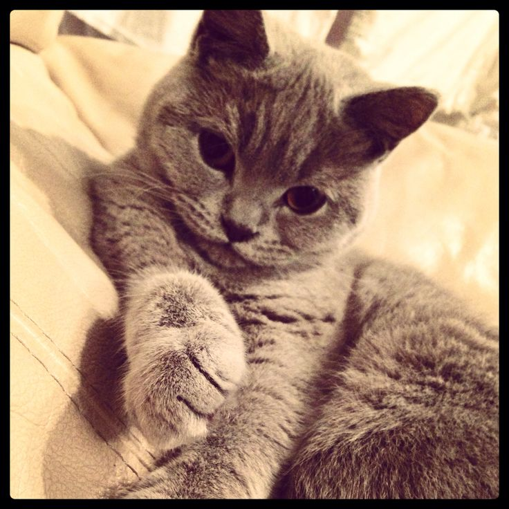Cats, British shorthair