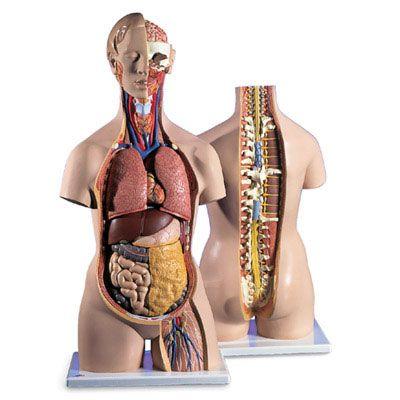 21 best Human Torso Models images on Pinterest | Human anatomy model ...