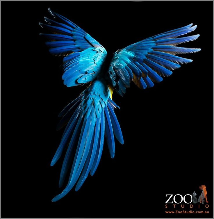 Blue and Gold Macaw, in flight, feather detail wing span, tail - Zoo Studios: Animal Art Photography