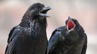 Ravens can recognize social order outside of their own communities : likeus