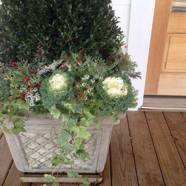 Fixer Upper's Joanna likes to use hardy Winter plantings like white cabbage, alyssum, compacta holly, peaco...