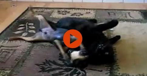 Funny dogs annoying cats #Funny#Cute#Dogs#Cats#Adorable#Animals