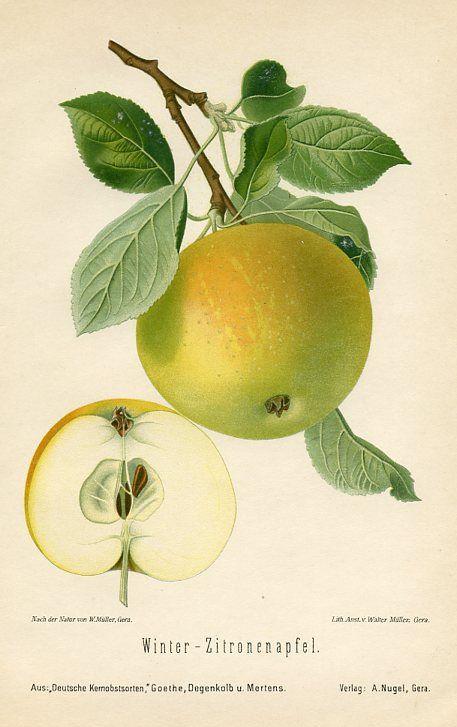 vintage apple fruit botanical illustration                                                                                                                                                                                 More