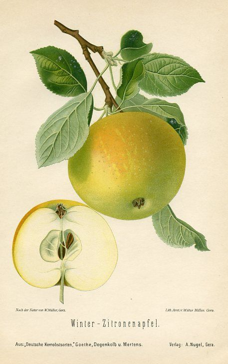 vintage apple fruit botanical illustration