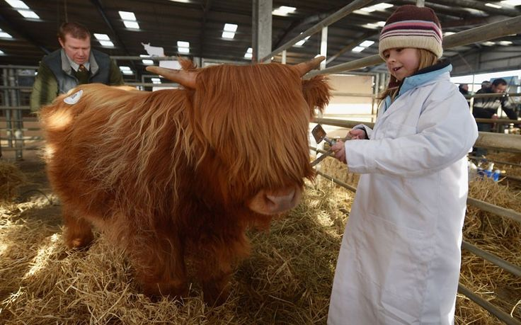 Emily Armstrong, aged 7, prepares a calf for show as farmers gather for the 122nd Highland Cattle Society spring sale  in Oban, Scotland