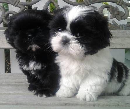 . Shih-Tzu Puppies... Black and white looks like my Luigi <3