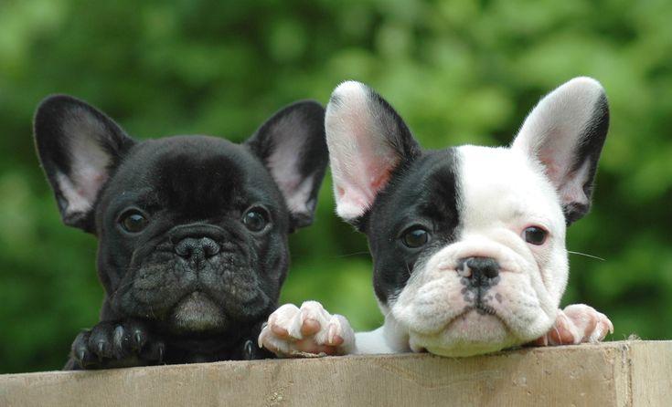 Bouledogue français : le mini molosse de bonne compagnie chien - SantéVet