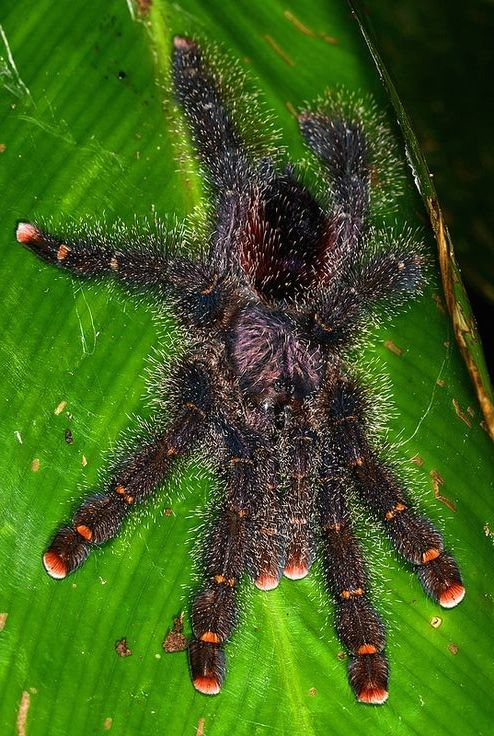 ˚Pink-toed tarantula (Avicularia avicularia) - Colombian ...