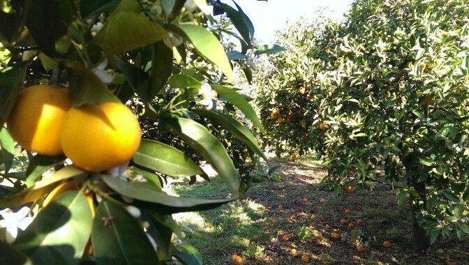 Fresh orange juice from our orange trees field #hotel-paraskevas.com #tyros #peloponnese #greece #holidays