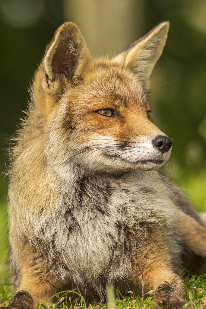 Red Fox by Hermen van Laar on 500px