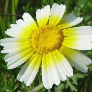 Chrysanthemum coronarium (Fleurs comestibles) Graines