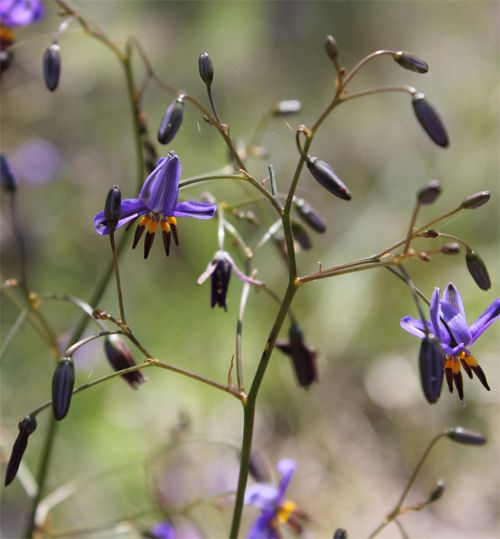 Dianella revoluta - commonly known as blueberry lily, blue flax-lily, black anther flax-lily or spreading flax-lily