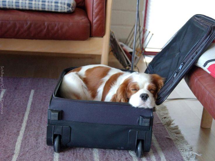 Conhecer as necessidades do seu cão ou do seu gato pode te ajudar durante suas viagens de trabalho ou a tirar uma folga (sem culpa!) da rotina.