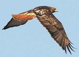 We have been seeing a Red Tail Hawk on our daily walks all winter. Love this bird.