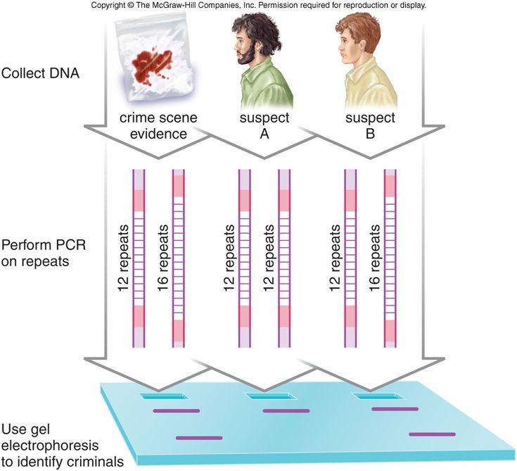 33 best ingeniera gentica images on pinterest biology biology dna fingerprinting process ccuart Gallery