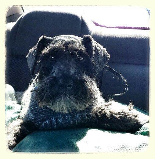 4 year old black schnauzer... Charliebear